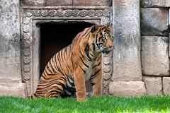 Sumatran Tiger, Bioparc Fuengirola, Andalusia, Spain (rmk2112rmk) Tags: spain tiger costadelsol sumatrantiger andalusia fuengirola pantheratigrissumatrae bioparc bioparcfuengirola