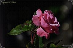 Rosa rosa di Maggio - 2016 (agostinodascoli) Tags: macro texture nature nikon rosa fiori nikkor sicilia cianciana