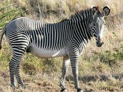 Zebra at Samburu ! (Mara 1) Tags: africa white black face nose eyes kenya tail ears zebra