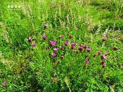 Kartusernelke (Dianthus carthusianorum) (warata) Tags: flower fleur germany deutschland pflanze blume blte pinkflowers 2016 wildblume wildpflanze dianthuscarthusianorum kartusernelke