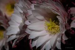 Cactus (San Francisco Gal) Tags: cactus flower macro fleur blossom bloom echinops thursdayflower mcbg mendocinobotanicalgarden