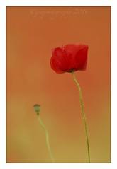 Single Poppy (cheffievrs) Tags: flower nature canon landscape poppies fullframe flandersfields fullbloom poppyfield 1dx wildfree borderfx 600mmf4lis