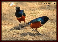 PAIR OF SUPERB STARILINGS (Spreo superbus) (Rueppell).....MASAI MARA.....SEPT 2015 (M Z Malik) Tags: africa nikon kenya wildlife ngc safari npc kws masaimara d3x exoticafricanbirds exoticafricanwildlife 200400mm14afs