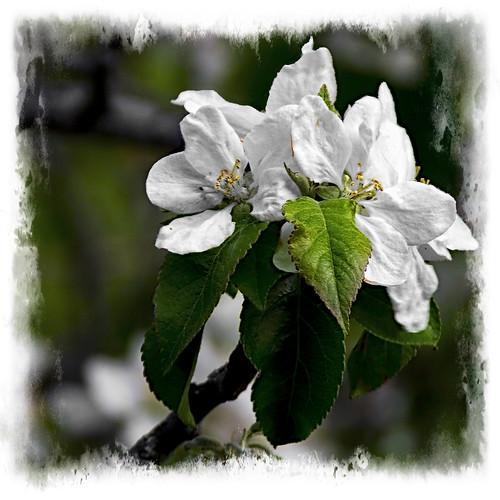 FLORECILLAS BLANCAS - WHITE FLOWERS
