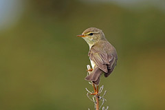 Willow Warbler, Hodbarrow, Cumbria, England (Terathopius) Tags: uk greatbritain england unitedkingdom cumbria gb willowwarbler phylloscopustrochilus hodbarrow phylloscopustrochilustrochilus