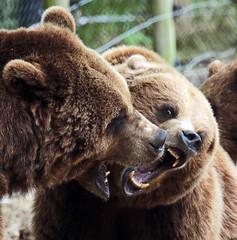 brown bear Hoenderdael JN6A4414 (j.a.kok) Tags: bear beer brownbear bruinebeer hoenderdael