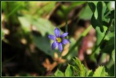 Blue-Eyed Grass (LavenderMillie) Tags: flowers outdoors dof depthoffield alberta wildflowers sisyrinchium blueeyedgrass bighillsprings