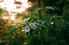 shining raindrops (VelannaRay) Tags:          inner film forest green light landscape color mood magic dream water rain sunshine sun