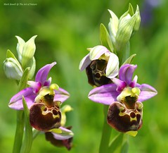 The very rare and beautiful Late Spider Orchids of the Kentish North Downs - Ophrys fuciflora (favmark1) Tags: kent orchids wildorchids britishorchids ophrysfuciflora kentorchids latespiderorchids