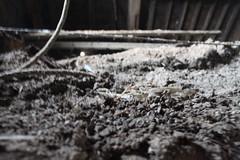 IMG_3094 (De Tuinen van Servaas en Dorothe) Tags: duiven mest dakgoot stof gebinte