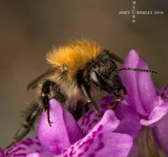 Bee (John Chorley) Tags: macro john chorley 2016