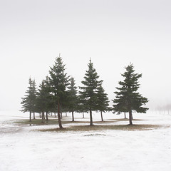 Team (Vesa Pihanurmi) Tags: spruce conifers trees winter snow nature minimalism espoo finland