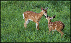 A Nice Moment (CallihanImages) Tags: canon pennsylvania deer 300mm pa fawn ef clarion whitetail 70d ef70300mmf456isusm ef70300mm clarioncounty pawilds canoneos70d canon70d pagreatoutdoors