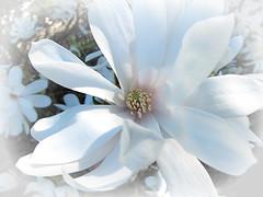 Sweet Dreams (Mary Faith.) Tags: sweet dreams soft pastel magnolia flower macro white nature