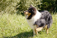 Hunger games (Vivien Zambo) Tags: collie roughcollie mantis praying puppy nikon d3100 sigma dog tricolor meadow nature animal bug