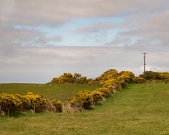 Gorse (Peter E. Lee) Tags: countryside spring roi ireland bush flower yellow republicofireland burren 2016 ire eire gorse louth ie