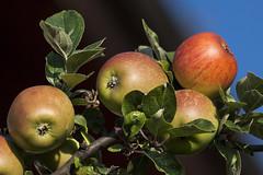 Les fruits de saison (mrieffly) Tags: pommes pommier fruits soleil canoneos50d 100400issriel