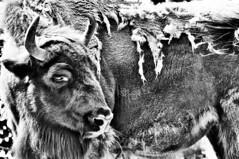Korkeasaari - Bison 1 (Elena Delahaye) Tags: finland nature helsinki island sea north scandinavia suomi