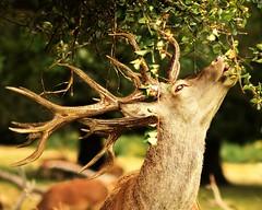 sud_7007crop (sud u) Tags: stag eating stageating reddeer deereating antlers amazingdeer