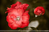 Simply Roses I (Nathan Dodsworth Photography) Tags: roses colours light petals flowers mood processing beauty calming serene romantic valentine romance love reds pinks