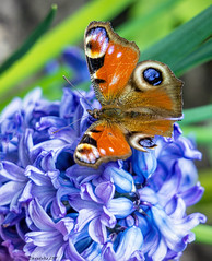 Peacock Butterfly on Hyacinth. (daveduke (Thanks for 1,000,000 Views)) Tags: hyacinth lymepark peacockbutterfly extensiontubes explored sonya6000 sonyilce6000 sony70200mmf4g