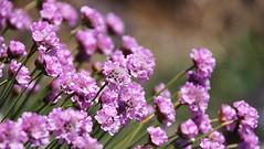 Sea pinks, Lunan Bay, Angus, Scotland (Ray Crabb) Tags: pink flowers scotland angus lunanbay 2013