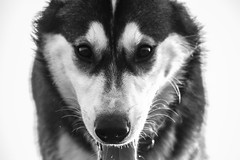 Wolf Dog (liambull87) Tags: dog wolf utonagan
