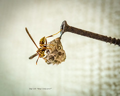 Day 116- May I help you? (Wishard of Oz) Tags: macro wasp day116 2015 nikon105mm project365 edition 365the 2015yip 365in2015 26apr15 26732992