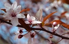 Spring! ^^ (aksioma_13) Tags: pink blue flower cherry spring violet plum bloom flowering blooming rosaceae
