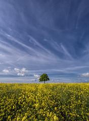 Lost in a sea of yellow (grbush) Tags: tree nature field rural landscape countryside bluesky olympus minimalism minimalist lonetree oilseedrape epm2 mzuikodigitaled9‑18mm140‑56