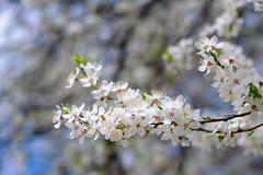 099 (Sern19) Tags: flowers white tree nature cherry 50mm spring blurry nikon blossom bokeh background nikkor d90 18g