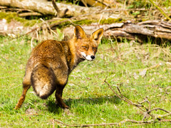 Fox (inekehuizing) Tags: nature landscape spring natuur lelystad landschap voorjaar oostvaarderplassen inekehuizingfotografie
