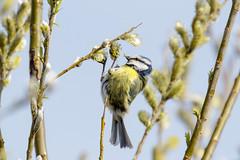 Pimpelmees-8618 (Djien) Tags: vogels oostvaarderplassen