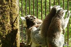 Zoo Bratislava 18.04.2015 198 (Fruehlingsstern) Tags: zoo zebra giraffe bratislava br gibbon dinosaurier katta schimpanse nashorn dinosaurierpark roterpanda zoobratislava weisetiger weiselwen panasonicfz200