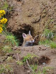 A Whole New World (Michelle O'Connell Photography) Tags: nature cub scotland glasgow wildlife den fox urbanwildlife kit vixen redfox urbanfox wildfox youngfox redfoxcub michelleoconnellphotography