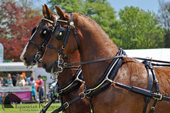 Gelderlanders (Vicktrr) Tags: show horse hairy animals private grey scotland appaloosa driving carriage fife farming donkey highland pony piebald welsh cob gypsy equine agricultural clydesdale vanner cupar 2015 cobs gelderlander skewbald gypsyvanner gypsycob