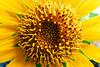 Sunflower (Fajar Pangestu) Tags: plant flower macro nature yellow closeup indonesia interesting fuji explore sunflower fujifilm fujinon x10 fujifilmx10 fujix10