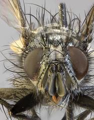 Ramonda spathulata, Deeside, North Wales, May 2012 3 (janetgraham84) Tags: tachinidae spathulata ramonda