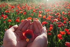 Opium Field (zumodecerebro) Tags: flowers light red green luz nature beautiful field atardecer rojo hands nikon flickr peace sony paz manos campo opium namaste naturalez zumodecerebro