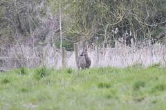 Roe Deer (Baractus) Tags: uk john lakes deer roe warwickshire oates earlswood