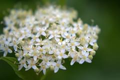 DSC_0069.NEF (tibal26) Tags: flower closeup natural x10