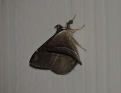 Liuzhou/ - Catocalinae/ DSCN6537 (Petr Novk ()) Tags: china nature animal night insect asia wildlife moth  lepidoptera catocalinae asie  guangxi liuzhou   hmyz     erebidae motl na