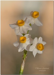 _ABC4995 - 22 03 2016   Narcissus Tazzetta. (maurob_1454) Tags: pianta amaryllidaceae perenne bulbosa bulbose erbacea narcisonostrale fiorespontaeneo piantaerbaceabulbosaperenne tazzettanarciso