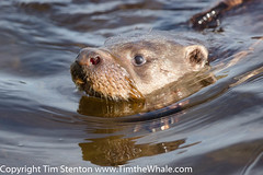 European Otter (Lutra lutra) 05 May-16-3159 (tim stenton www.TimtheWhale.com) Tags: wild mammal islands scotland otter shetland mainland mustelid shetlandisles lutralutra commonotter notcaptive lutrinae europeanotter landmammal eurasianotter