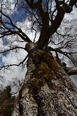 Il vecchio faggio (supersky77) Tags: tree ancient bark albero lombardia beech lecco fagus corteccia lombardy faggio lombardie fagussylvatica prealpi valsassina lombardei cremeno pianidiartavaggio