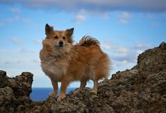 4mai_Thorbjorn_063 (Stefn H. Kristinsson) Tags: dog mountain dogs iceland spring hiking may ma vor hundur sland ganga fjallganga tamron2875mm grindavk hundar grindavik orbjrn nikond800 thornbjorn orbjarnarfell