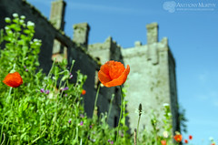Flowers in bloom at Athcarne Castle (mythicalireland) Tags: flowers summer sun castle monument sunshine architecture ruin bloom 16thcentury towerhouse athcarne
