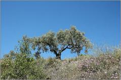 Olive (Mabacam) Tags: mountain mountains nature walking landscape outdoors countryside spain view hiking country andalucia trail moorish vista olivetree 2016 sayalonga canillasdealbaida