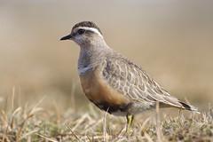 Dotterel (J J McHale) Tags: bird scotland wildlife cairngorms dotterel