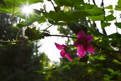 Salmonberry Sun (Sotosoroto) Tags: flower forest washington hiking dayhike bubblinggeyser flaminggeyser flaminggeyserstatepark